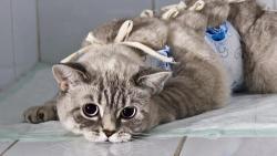 Мифы о вреде кастрации кошек